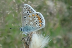 Common blue butterfly: Martina Slater