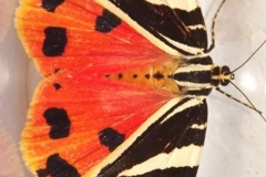 Sian Parry: Jersey Tiger moth