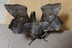Claire Kenward: Poplar hawk moth