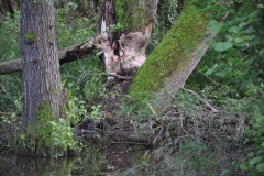 Beaver's chewed tree: By Glyn Davies