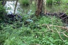Beaver dam on the Holnicote Estate: C Tickner