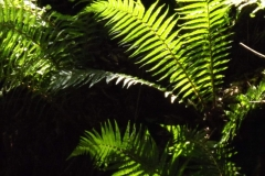 Sian Parry: Woodland ferns