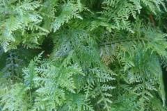 Feather Moss Thuidium tamariscum found near Bratton Court Woods: Martina Slater