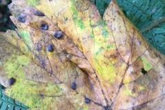 Sycamore tarspot:Rhytisma acerinum: C. Tickner