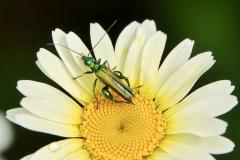 Ian Hart: Thick-legged Flower beetle [ Oedemera nobilis ]