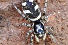 Ian Hart:  Zebra spider [ Salticus scenicus ]