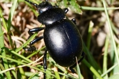 Bloody nosed beetle  photographed on North Hill: Ian Hart