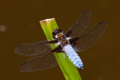Broad bodied chaser, Male by Stewart Lane