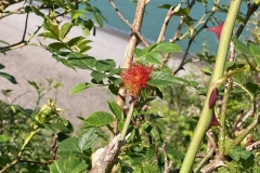 Robin's pincushion, a gall caused be the larvae of a tiny gall wasp.  C Tickner