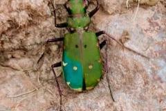 Martina Slater: Green tiger beetle