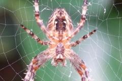 Garden spider:lan  Hart