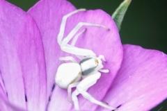 Ian hart: Crab Spider  [Misumena vatia]