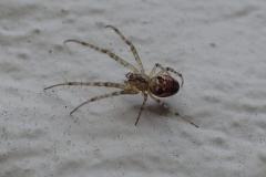 Juvenile Lesser Garden Spider : Martina Slater