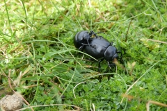Bloody Nosed Beetles Timarcha tenebricosamating top of Hurlestone Coombe. Check out those feet !!!!!   by Martina Slater