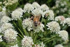 Bee pollinating Water Dropwort by Martina Slater