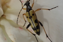 Spotted longhorn Strangalia maculata: Martina Slater