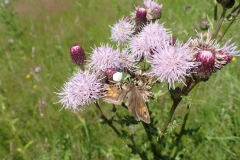 Meadow Brown Buttefly being eaten by a female Flower Crab Spider : Martina Slater
