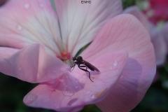 Hybos culciformis Dance Fly: Martina Slater