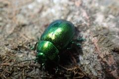 Mint Beetle Chrysolina herbacea : Martina Slater