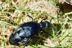 Violet Oil Beetle: M.violaceus: Photo by Ian Hart, ID confirmed by David Boyce
