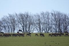 Exmoor Red Deer on Horsen Hill:lan Hart