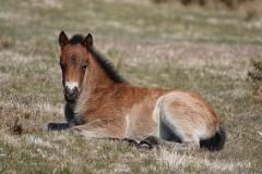 Exmoor foal:lan Hart
