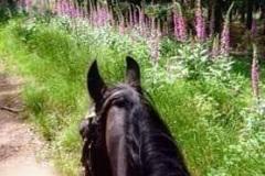 Martina Slater: Horse Ride amongst Foxgloves