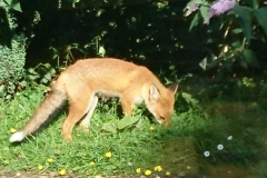 Fox at Middlecombe:  Martina Slater