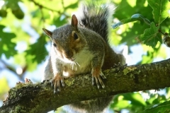 Grey-Squirrel: Ian Hart