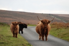 Highland Cattle at Tarr-Ball@lan Hart