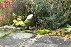 Visiting Stoat in Winsford Garden:  David Mileham