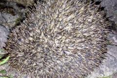 Sian Parry: Hedgehog