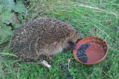 Hedgehog feeding in a garden near Sampford Brett: Annabel Campbell