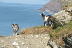 Feral goat kids at the Valley of the Rocks.  Martina Slater