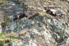 Feral goat kids showing how well camouflaged they are against the rocks and perfectly adapted to live in that rocky environment. Martina Slater