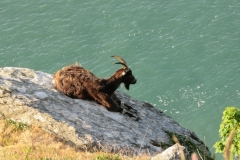 Adult feral goat resting on the precipitous cliff face of the Valley of the Rocks. Martina Slater