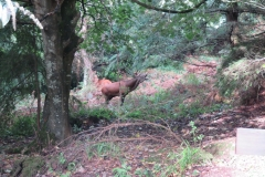 Red Stag at Middlecombe, Minehead.  Martina Slater