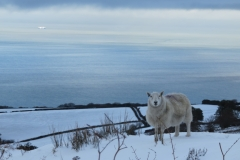 Lone sheep on Porlock Hill: Martina Slater