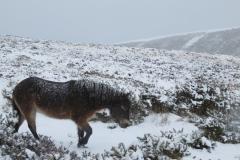Exmoor Pony on Porlock Common: Martina Slater