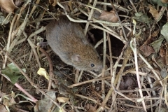 Bank Vole at Middlecombe: Martina Slater