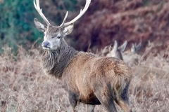 Red Deer Stag from Ian Hart: Taken at Bat's Castle