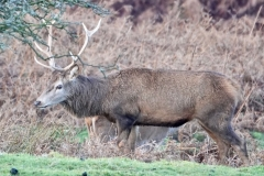 Red Deer Stag at Bat's Castle, Dunster Park: Ian Hart