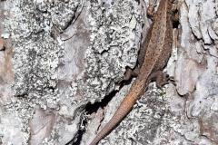Common Lizard assumed  pregnant:David Slater