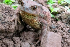 Martina Slater: Common Toad