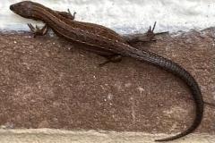 Common Lizard by Marilyn Hobbs