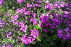 Bell heather: Erica cinereaWidespread on moors and coastal heath but much less than Calluna vulgaris. A Campbell