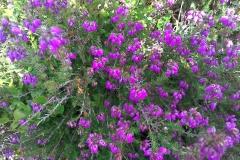 Erica cinereaWidespread on moors and coastal heath but much less than Calluna vulgaris. A Campbell