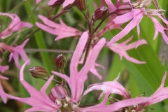 Sian Parry: Ragged Robin