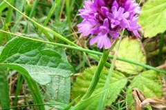 Martina Slater: Pyramidal Orchid