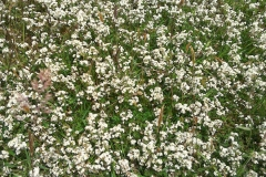 Heath bedstraw:Galium saxatile. Common in moorland areas. A Campbell